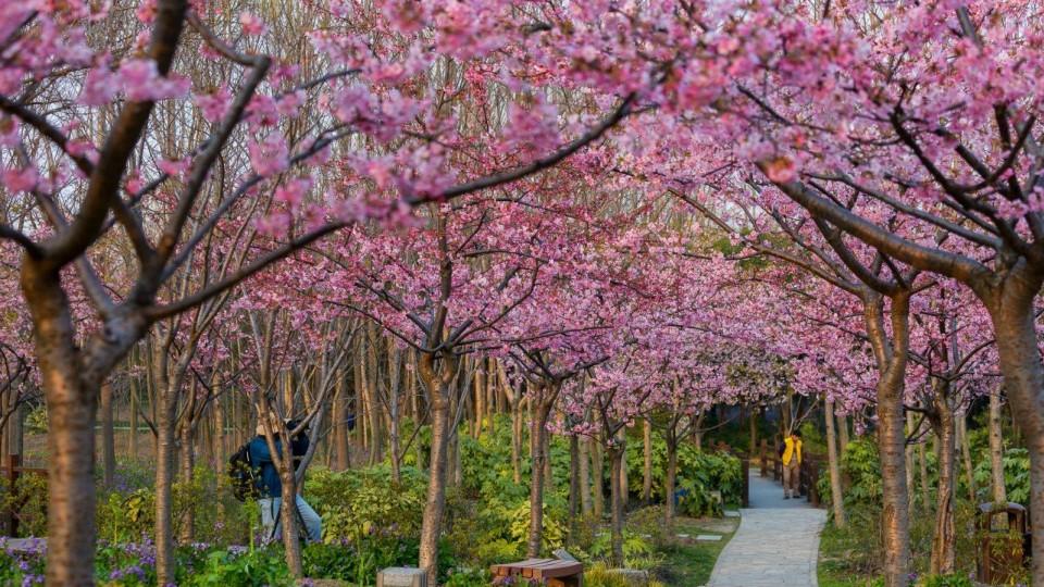 去不了北海道和武大看樱花?来这里赏春天醉美景色!